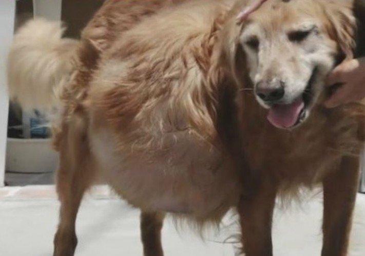 zlatý retrívr, golden retriever, zlatý, retrívr, tumor, nádor, léčba, příběh, psí příběh, příběhy o psech, video, obrázky 5
