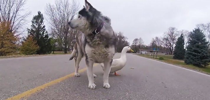 neobvyklé, přátelství, zvířat, husky, sibiřský, sibiřský husky, kachna, video, obrázky, psí, příběh, příběh psa, psí příběhy, příběhy, psů 2