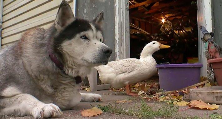 neobvyklé, přátelství, zvířat, husky, sibiřský, sibiřský husky, kachna, video, obrázky, psí, příběh, příběh psa, psí příběhy, příběhy, psů 7