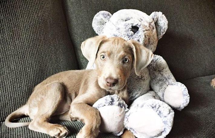 roztomilý, pes, výmařský, ohař, zvětšený, rozšířený, jícen, u psa, léčba, židle, židlička, příjem, krmiva, jídla, do žaludku 1