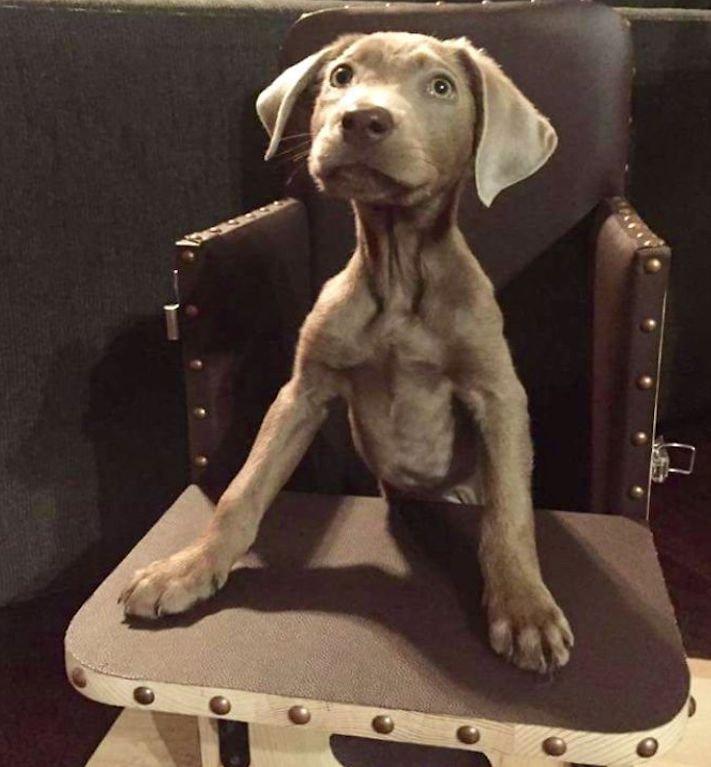 roztomilý, pes, výmařský, ohař, zvětšený, rozšířený, jícen, u psa, léčba, židle, židlička, příjem, krmiva, jídla, do žaludku 2