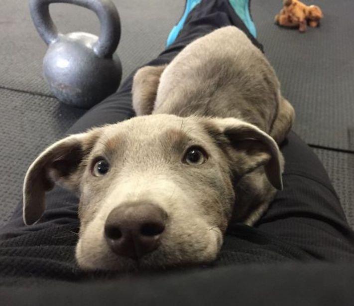 roztomilý, pes, výmařský, ohař, zvětšený, rozšířený, jícen, u psa, léčba, židle, židlička, příjem, krmiva, jídla, do žaludku 5
