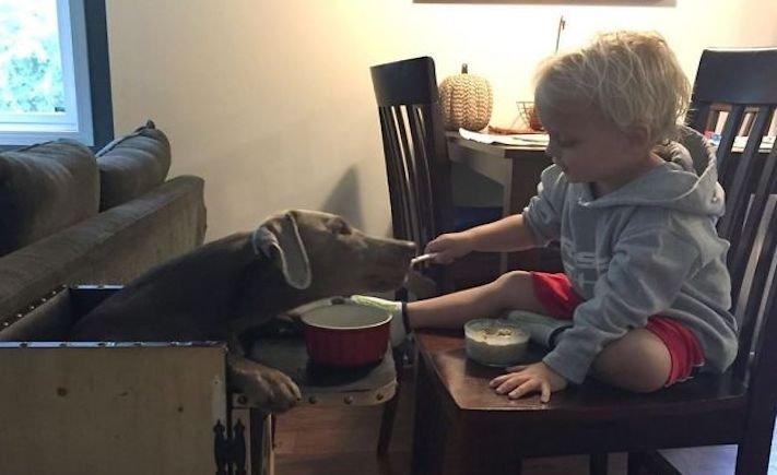roztomilý, pes, výmařský, ohař, zvětšený, rozšířený, jícen, u psa, léčba, židle, židlička, příjem, krmiva, jídla, do žaludku 8