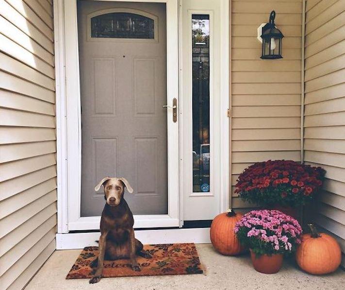 roztomilý, pes, výmařský, ohař, zvětšený, rozšířený, jícen, u psa, léčba, židle, židlička, příjem, krmiva, jídla, do žaludku 9