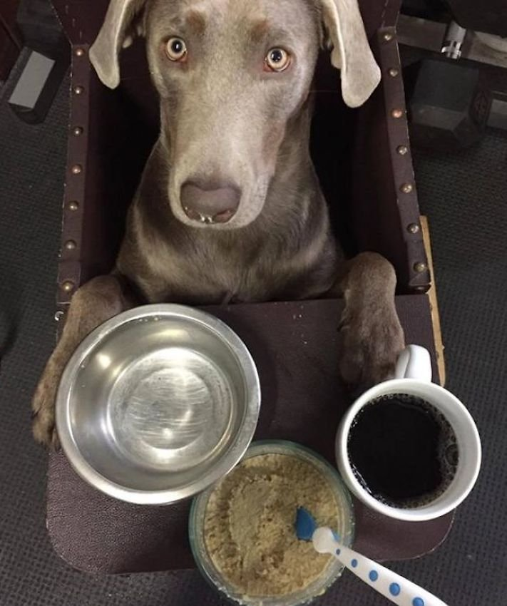 roztomilý, pes, výmařský, ohař, zvětšený, rozšířený, jícen, u psa, léčba, židle, židlička, příjem, krmiva, jídla, do žaludku 7