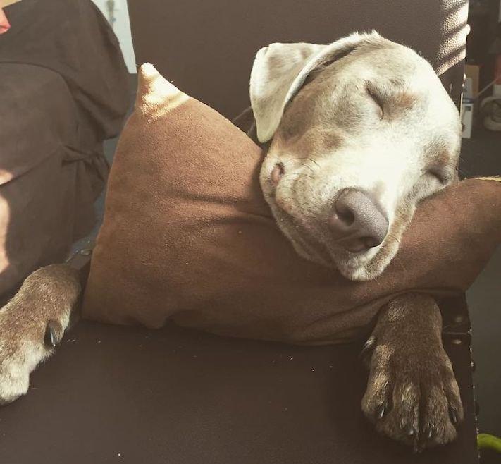 roztomilý, pes, výmařský, ohař, zvětšený, rozšířený, jícen, u psa, léčba, židle, židlička, příjem, krmiva, jídla, do žaludku 10