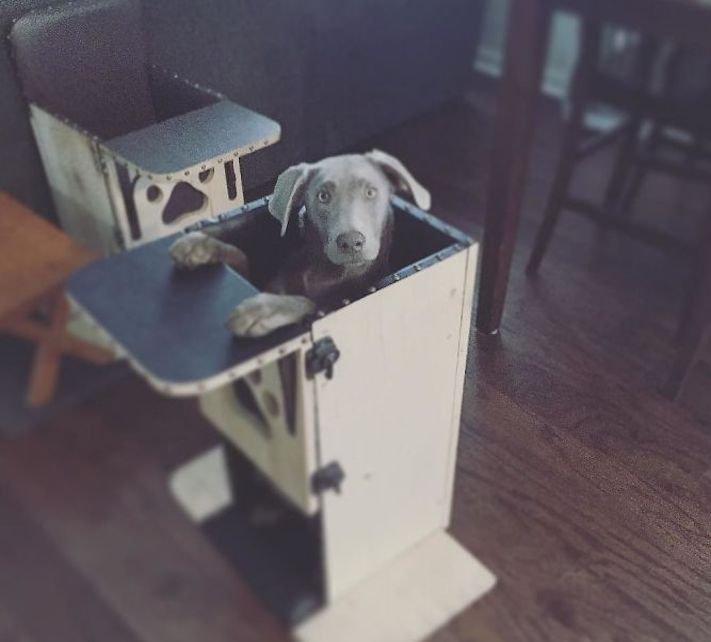 roztomilý, pes, výmařský, ohař, zvětšený, rozšířený, jícen, u psa, léčba, židle, židlička, příjem, krmiva, jídla, do žaludku 11