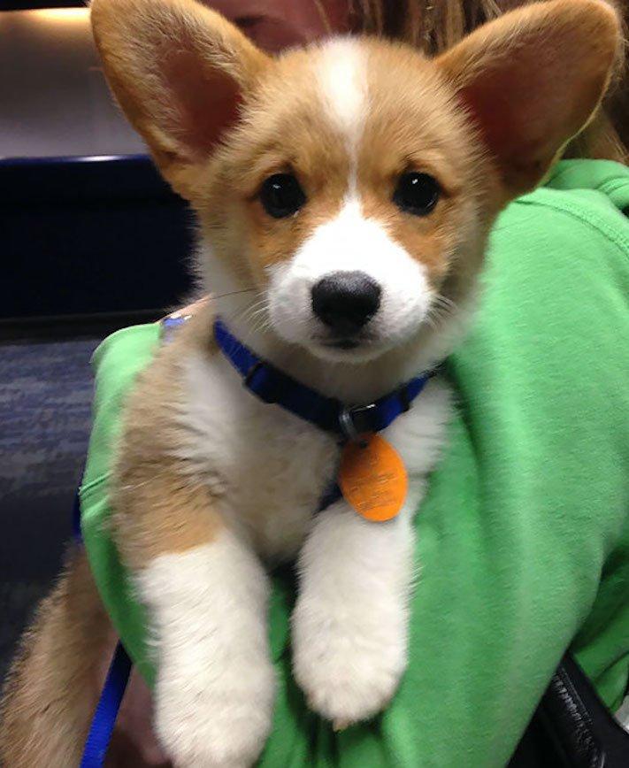 pes, v letadle, letadlo, pes, do letadla, cestování, se psem, zvířata, v letadle, cestovní společnosti, obrázky, psů 1