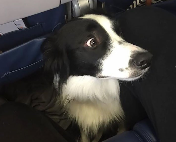 pes, v letadle, letadlo, pes, do letadla, cestování, se psem, zvířata, v letadle, cestovní společnosti, obrázky, psů 5