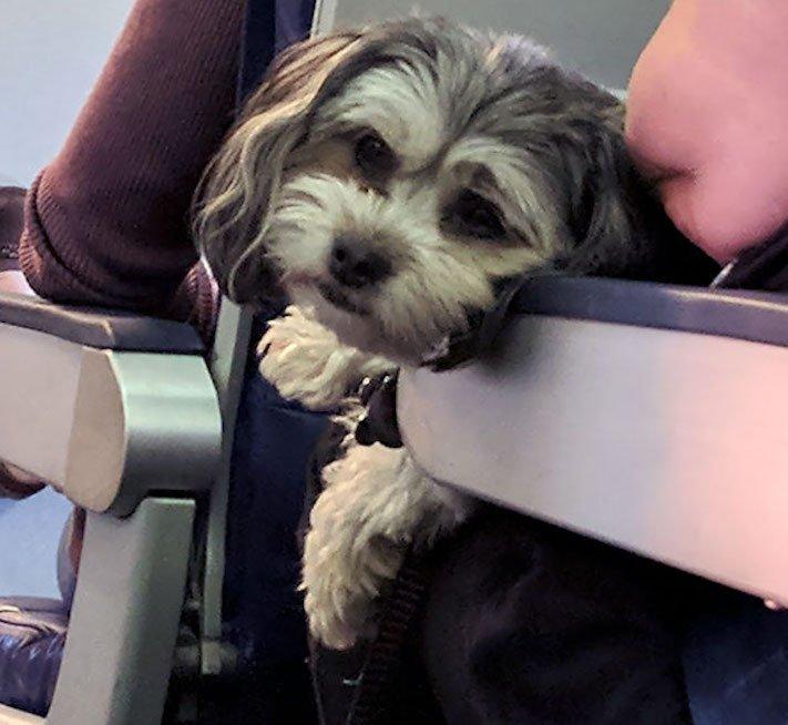 pes, v letadle, letadlo, pes, do letadla, cestování, se psem, zvířata, v letadle, cestovní společnosti, obrázky, psů 9