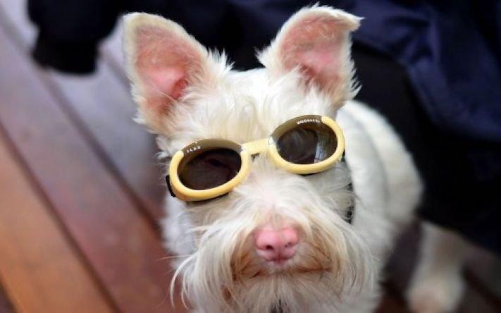 pes, albín, albinismus, ochrana, před světlem, před sluncem, UV záření, ultrafialové, záření, brýle, sluneční, zdravotní, brýle pro psa 1