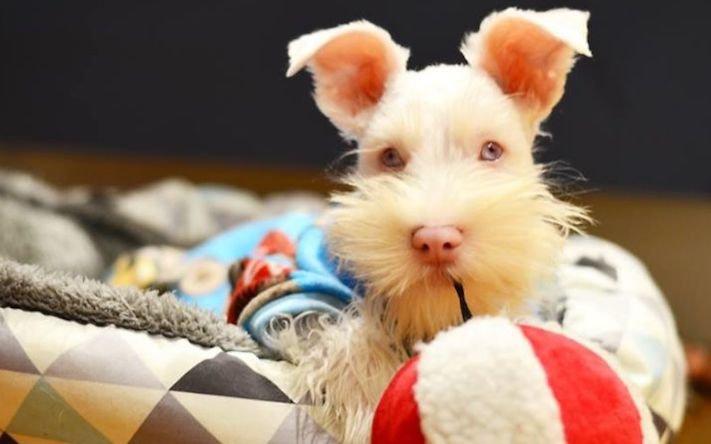pes, albín, albinismus, ochrana, před světlem, před sluncem, UV záření, ultrafialové, záření, brýle, sluneční, zdravotní, brýle pro psa 2