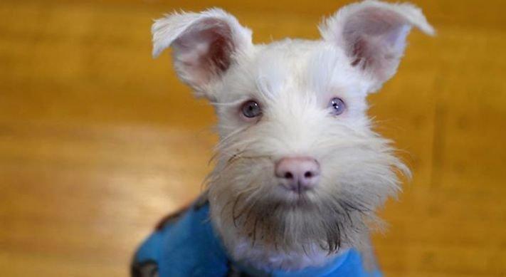 pes, albín, albinismus, ochrana, před světlem, před sluncem, UV záření, ultrafialové, záření, brýle, sluneční, zdravotní, brýle pro psa 4