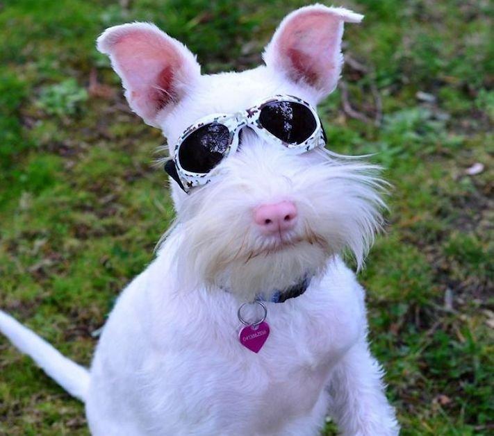 pes, albín, albinismus, ochrana, před světlem, před sluncem, UV záření, ultrafialové, záření, brýle, sluneční, zdravotní, brýle pro psa 5