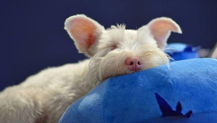 pes, albín, albinismus, ochrana, před světlem, před sluncem, UV záření, ultrafialové, záření, brýle, sluneční, zdravotní, brýle pro psa 7