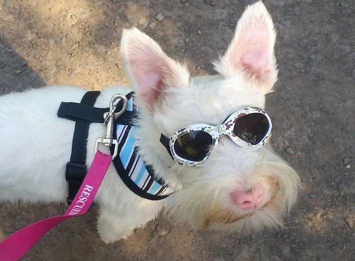 pes, albín, albinismus, ochrana, před světlem, před sluncem, UV záření, ultrafialové, záření, brýle, sluneční, zdravotní, brýle pro psa 9