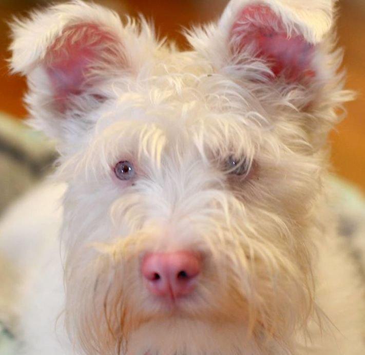 pes, albín, albinismus, ochrana, před světlem, před sluncem, UV záření, ultrafialové, záření, brýle, sluneční, zdravotní, brýle pro psa 10