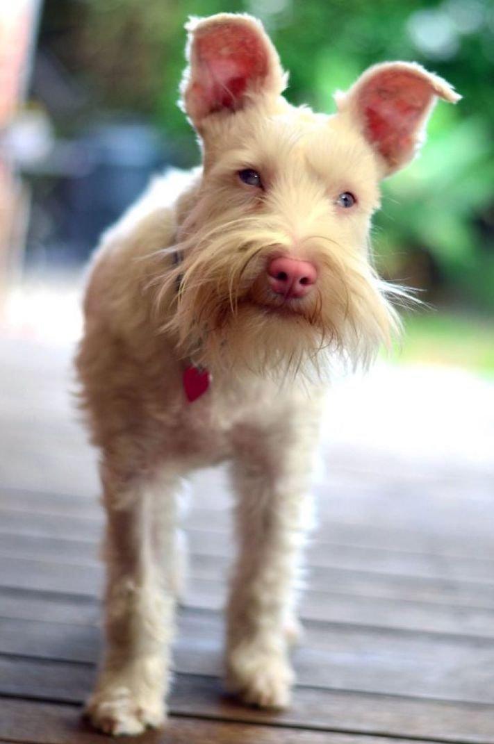 pes, albín, albinismus, ochrana, před světlem, před sluncem, UV záření, ultrafialové, záření, brýle, sluneční, zdravotní, brýle pro psa 11