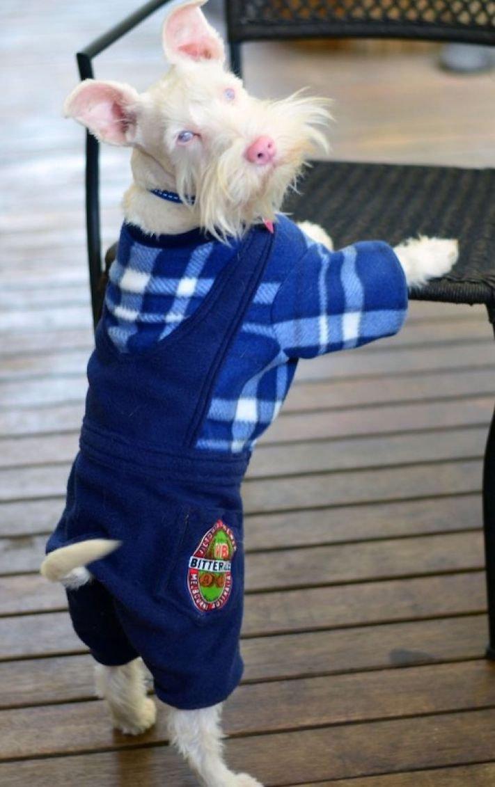 pes, albín, albinismus, ochrana, před světlem, před sluncem, UV záření, ultrafialové, záření, brýle, sluneční, zdravotní, brýle pro psa 12