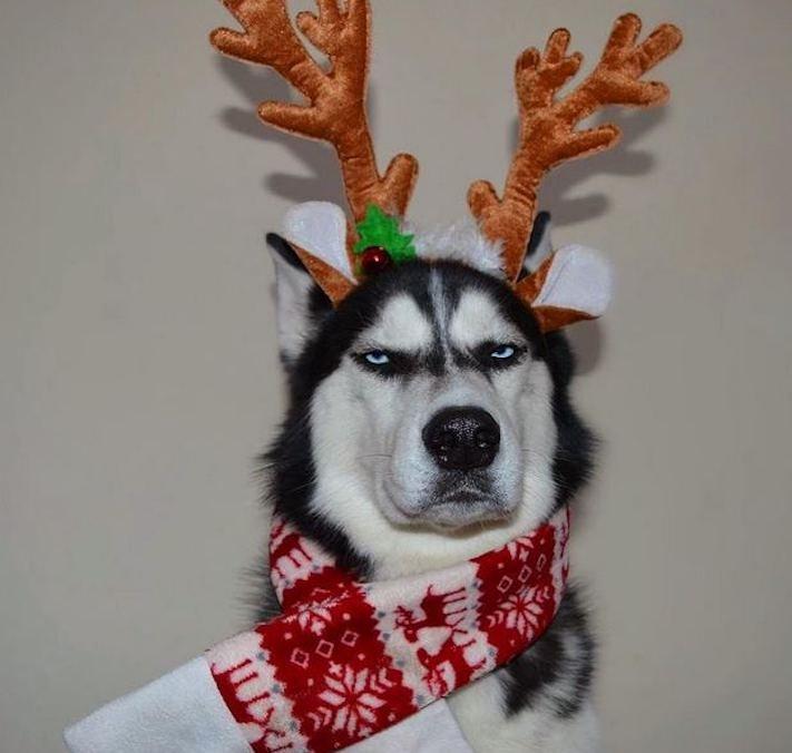 husky, sibiřský husky, anuko, vánoce, vitpné, zábavné, nejlepší, nejvtipnější, vánoční přání, pohled, přání, na vánoce, se psem, se psy, husky, fotografie, fotoalbum 1