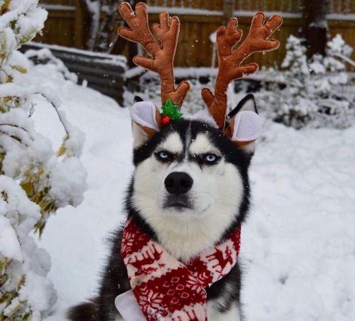 husky, sibiřský husky, anuko, vánoce, vitpné, zábavné, nejlepší, nejvtipnější, vánoční přání, pohled, přání, na vánoce, se psem, se psy, husky, fotografie, fotoalbum 2