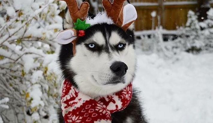 husky, sibiřský husky, anuko, vánoce, vitpné, zábavné, nejlepší, nejvtipnější, vánoční přání, pohled, přání, na vánoce, se psem, se psy, husky, fotografie, fotoalbum 7