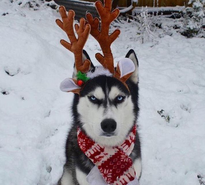 husky, sibiřský husky, anuko, vánoce, vitpné, zábavné, nejlepší, nejvtipnější, vánoční přání, pohled, přání, na vánoce, se psem, se psy, husky, fotografie, fotoalbum 9