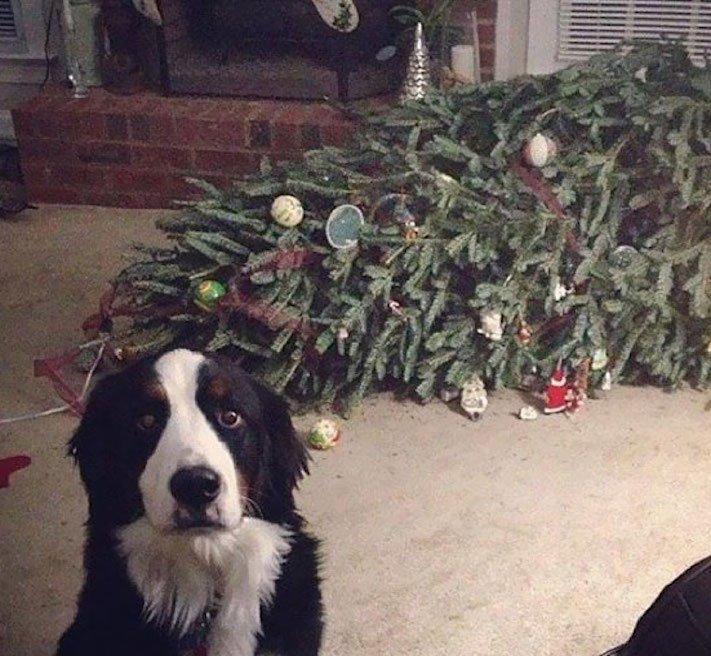 vánoční, obrázky, psů, se psy, psi, pes, fotky, fotografie, vánoční, stromek, zničený, spadlý, zábavné, vtipně, nejzábavnější, fotoalbum 1