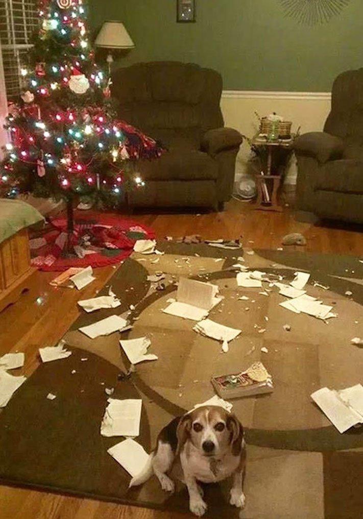vánoční, obrázky, psů, se psy, psi, pes, fotky, fotografie, vánoční, stromek, zničený, spadlý, zábavné, vtipně, nejzábavnější, fotoalbum 3