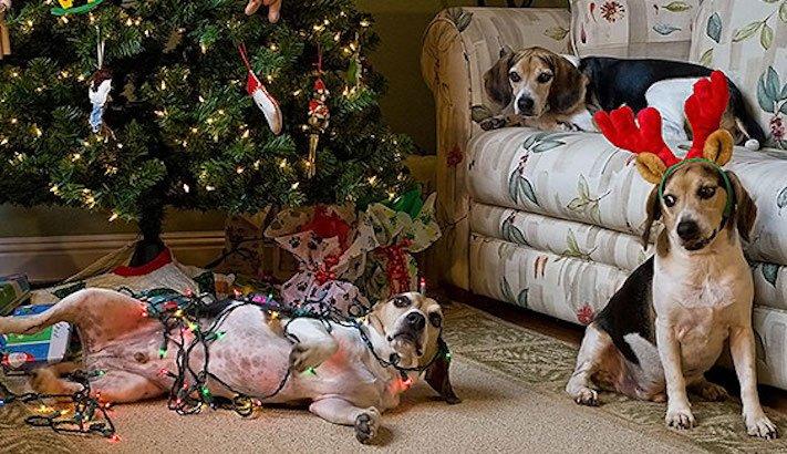 vánoční, obrázky, psů, se psy, psi, pes, fotky, fotografie, vánoční, stromek, zničený, spadlý, zábavné, vtipně, nejzábavnější, fotoalbum 5