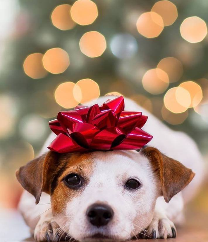 vánoce, 2017, 2018, pf, se psem, psí, vánoce, vánoční, dárky, pohoda, obrázky, fotoalbum, zábavné, vtipné, vánoční obrázky, fotky, fotografie 1