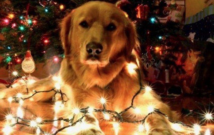 vánoce, 2017, 2018, pf, se psem, psí, vánoce, vánoční, dárky, pohoda, obrázky, fotoalbum, zábavné, vtipné, vánoční obrázky, fotky, fotografie 6