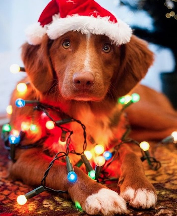 vánoce, 2017, 2018, pf, se psem, psí, vánoce, vánoční, dárky, pohoda, obrázky, fotoalbum, zábavné, vtipné, vánoční obrázky, fotky, fotografie 8