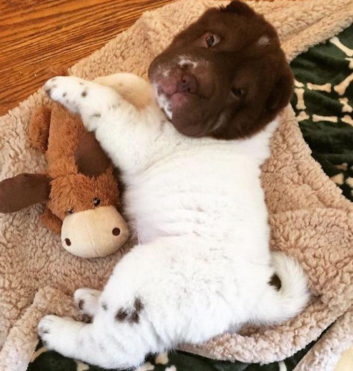 sharpei, shar-pei, šarpej, plemeno, psa, psí, plemena, obrázky, příběh, pes, jako medvěd, méďa, plyšák, živý, pes, psi, fotoalbum, obrázky, roztomilé 5
