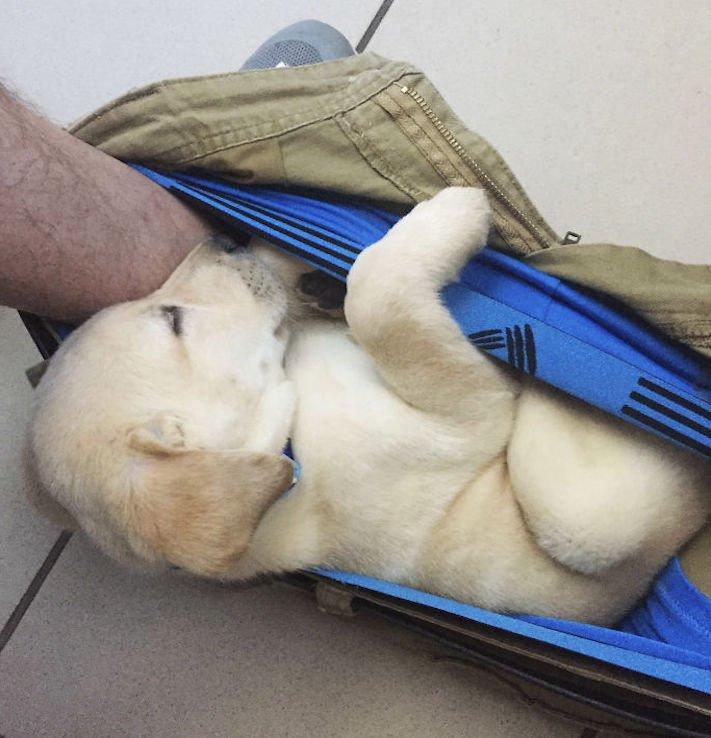 labradorský restrívr, labrador, zvláštní, rutina, se psem, zábavné, vtipné, obrázky, pes na záchodě, pes na, toaletě, wc, přilnutí, psa, nejlepší, přítel, zábavné, vtipné, obrázky 1