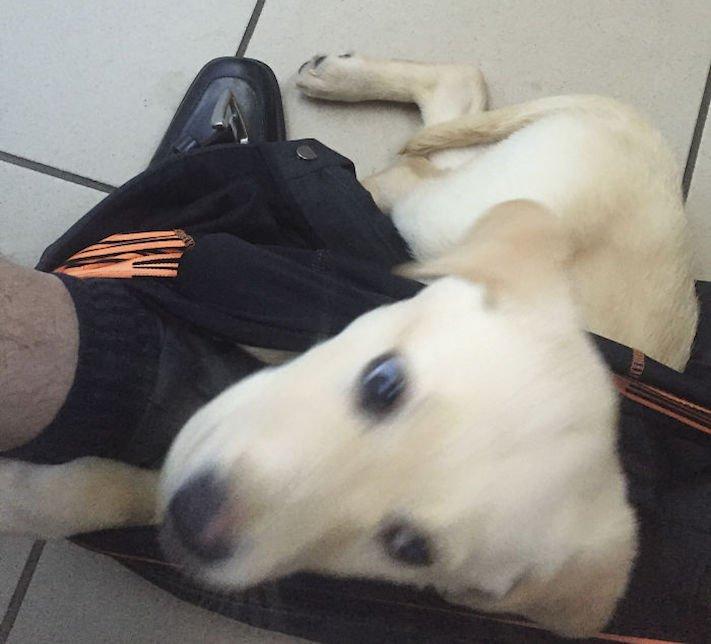 labradorský restrívr, labrador, zvláštní, rutina, se psem, zábavné, vtipné, obrázky, pes na záchodě, pes na, toaletě, wc, přilnutí, psa, nejlepší, přítel, zábavné, vtipné, obrázky 4