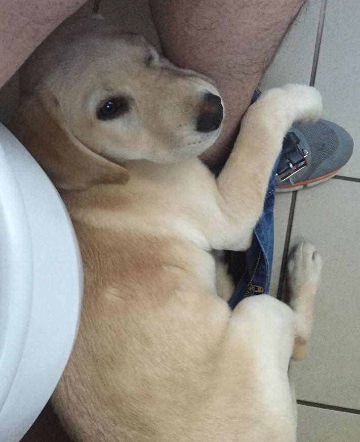 labradorský restrívr, labrador, zvláštní, rutina, se psem, zábavné, vtipné, obrázky, pes na záchodě, pes na, toaletě, wc, přilnutí, psa, nejlepší, přítel, zábavné, vtipné, obrázky 11