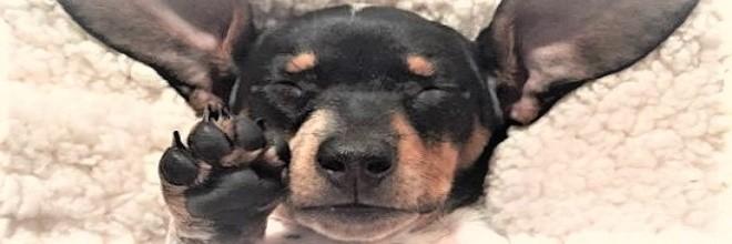 Nové štěně se připojilo k populární Harlow a Indi, nyní je z nich dokonalá rodinka ツ