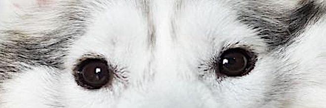Husky se narodil bez tlapek, ale pak ho adoptovali a je z něj ten nejšťastnější pes na kolečkách