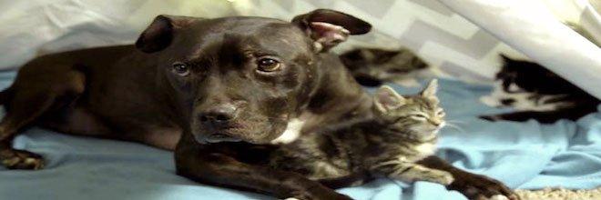 Zachránil pitbula ze psích zápasů, nyní je z něj domácí mazel