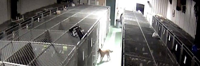 Fenka utekla z kotce, aby utišila kňučící štěňata