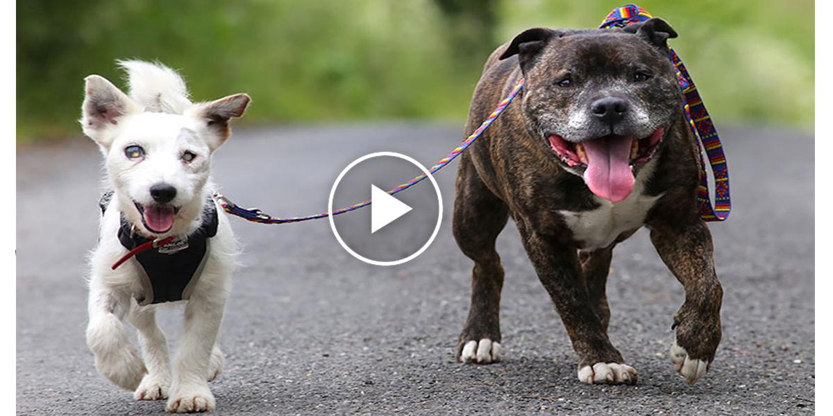 Slepý pes má skvělou náhradu vidění, pomáhá mu jeho parťák