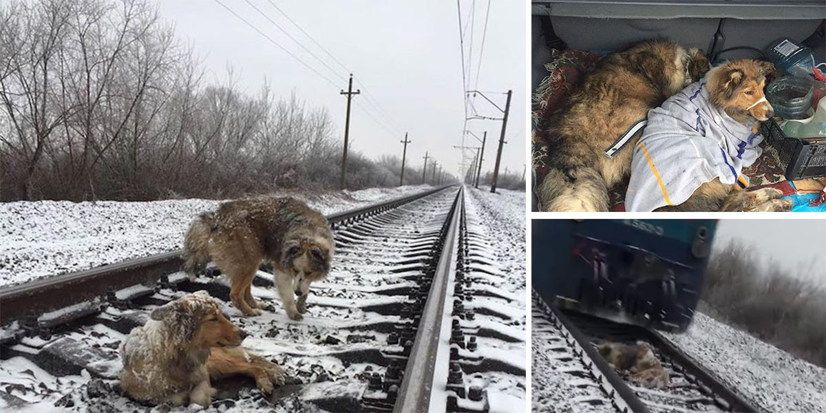 Tenhle pes byl natolik zraněný, že nemohl pryč z kolejí, jeho přítel ho ani vstříc vlaku neopustil (+ hloupý kameraman)