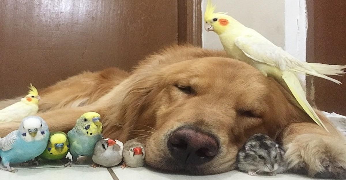 Zlatý retrívr, 8 ptáků a křeček vytváří úžasné a nejneobvyklejší přátelství vůbec!
