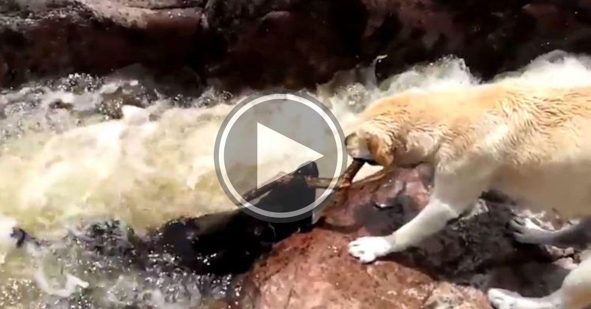 Pes zachránil svého kamaráda před tím, než ho smetly peřeje (VIDEO)