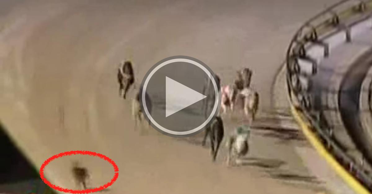 Odvážný zajíc narušil závod chrtů (VIDEO)