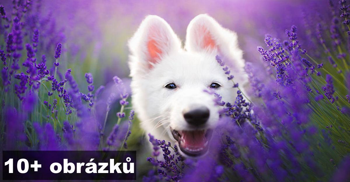 Vzala jsem své psy do levandulové zahrady, abych zachytila jejich ryzí štěstí ❤