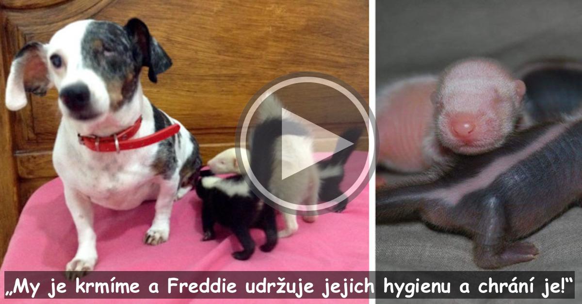 Skunčata po narození odmítla jejich matka, ale naše fenka Freddie je úžasná macecha!