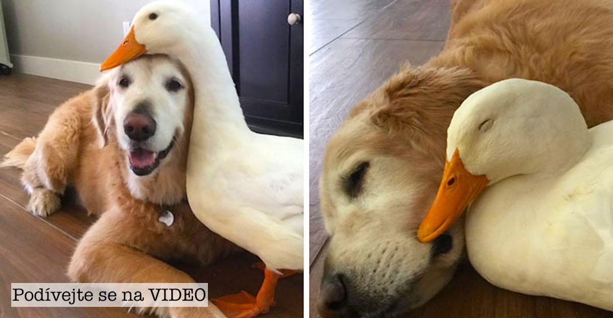 Tohle netradiční přátelství psa a kachny dokazuje, že zvířata si nevybírají kamarády podle jejich vzhledu…
