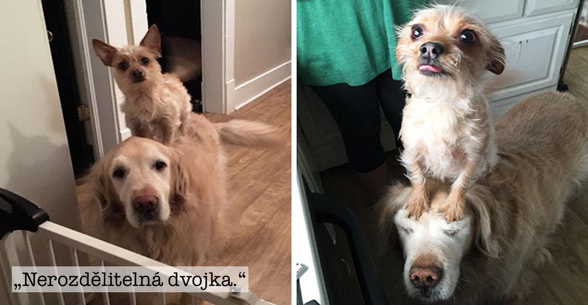 """Malý pes """"využívá"""" svého většího brášku naprosto ke všemu. Staly se z nich internetové hvězdy"""